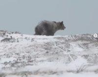 ФОТО: Снимена мечка на Шар Планина, една од најубавите и најретките глетки